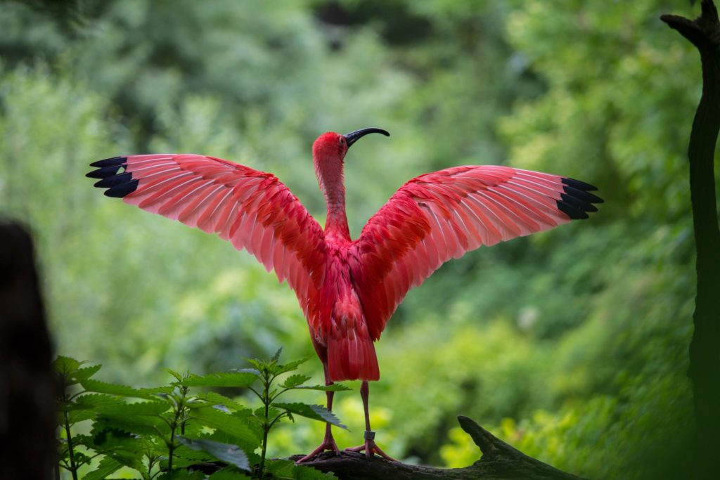ibis-bird-red-animals-158471